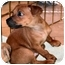 Photo 1 - Miniature Pinscher/Terrier (Unknown Type, Medium) Mix Puppy for adoption in House Springs, Missouri - Mike