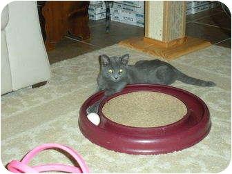 Russian Blue Kitten for adoption in Huffman, Texas - Rascal
