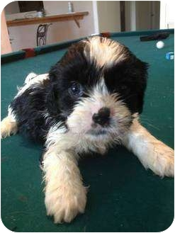 Cavalier King Charles Spaniel/Shih Tzu Mix Puppy for adoption in Lonedell, Missouri - Knuckle