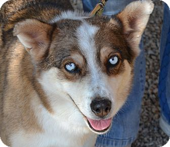 Husky Mix Dog for adoption in Gilbert, Arizona - Baby