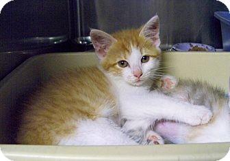 Domestic Shorthair Kitten for adoption in Dover, Ohio - Flo