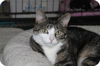 Domestic Shorthair Cat for adoption in North Branford, Connecticut - Danae