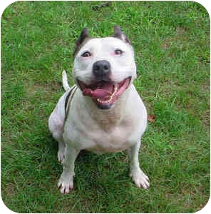 American Staffordshire Terrier Dog for adoption in Pascoag, Rhode Island - Lady