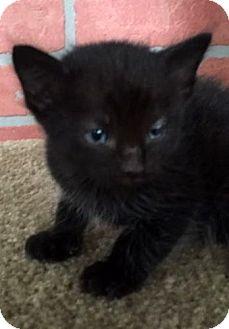Domestic Shorthair Kitten for adoption in Porter, Texas - Loyal
