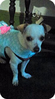 Chihuahua Dog for adoption in south plainfield, New Jersey - Daisy