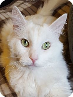 Domestic Longhair Cat for adoption in Chattanooga, Tennessee - Harrison **Declawed**