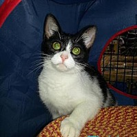 Domestic Shorthair Cat for adoption in Satellite Beach, Florida - Tishi