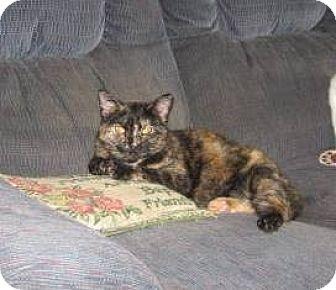 Domestic Shorthair Kitten for adoption in Kirkwood, Delaware - Tiki