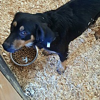 Shepherd (Unknown Type) Mix Dog for adoption in Livingston Parish, Louisiana - Matthew