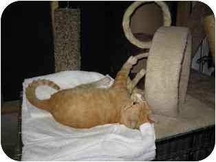 Domestic Shorthair Cat for adoption in Wakinsville, Georgia - Mr. Bud