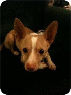Chihuahua/Dachshund Mix Dog for adoption in San Francisco, California - Frankie