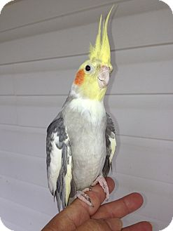 Cockatiel for adoption in Punta Gorda, Florida - Cheeks