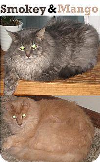 Persian Cat for adoption in Huntsville, Ontario - Mango - Persian Cross!