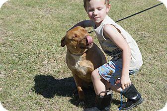 Labrador Retriever/American Staffordshire Terrier Mix Dog for adoption in Weatherford, Texas - Suki