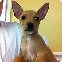 Adopt A Pet :: Ana - Owensboro, KY