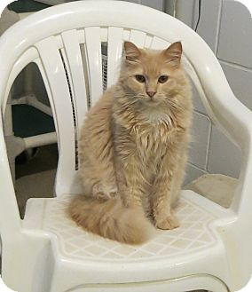 Domestic Longhair Cat for adoption in Geneseo, Illinois - Eden