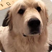 Adopt A Pet :: Hannah ADOPTION PENDING - Bloomington, IL