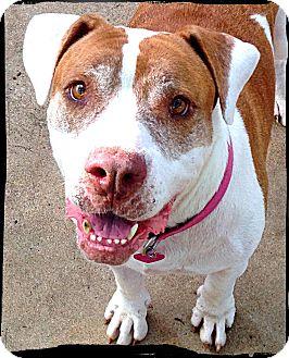 American Bulldog Dog for adoption in Bastrop, Texas - Sissi