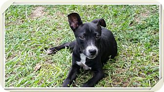 Smooth Fox Terrier/Rat Terrier Mix Puppy for adoption in Weeki Wachee, Florida - Lacy