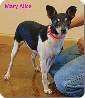 Rat Terrier Mix Dog for adoption in Ocean Ridge, Florida - Mary Alice