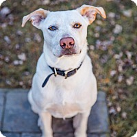 Adopt A Pet :: Dillon - Round Lake Beach, IL