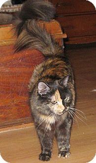Domestic Mediumhair Cat for adoption in North Highlands, California - Wallynda