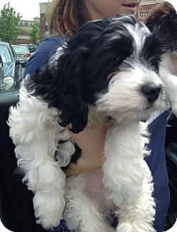 Poodle (Miniature) Mix Puppy for adoption in Richmond, Virginia - Oreo