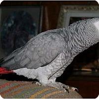 Adopt A Pet :: COCO - Mantua, OH