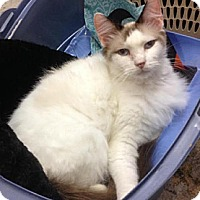 Adopt A Pet :: Bonnie Blue - Miami, FL