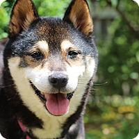 Adopt A Pet :: Aneko - Manassas, VA