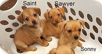 Chihuahua/Terrier (Unknown Type, Medium) Mix Puppy for adoption in Metairie, Louisiana - Sawyer, Sonny, Saint, Sally