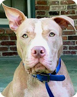 Pit Bull Terrier Dog for adoption in Kansas City, Missouri - Flint