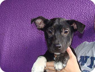 Australian Cattle Dog/Australian Shepherd Mix Puppy for adoption in Oviedo, Florida - Velcro