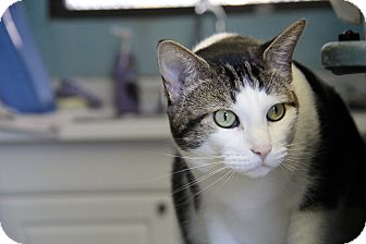 Domestic Shorthair Cat for adoption in Forked River, New Jersey - Spoon