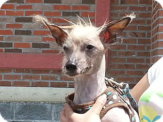 Chinese Crested Dog for adoption in Richmond, Virginia - Lil Man