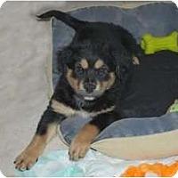 Adopt A Pet :: Belle - Minneola, FL