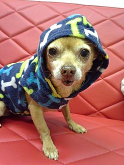 Chihuahua Dog for adoption in Englewood, Colorado - Ricardo