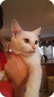 Domestic Shorthair Kitten for adoption in Mesa, Arizona - Zima