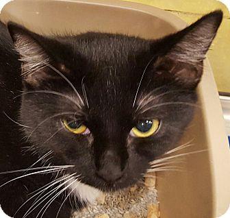 Domestic Shorthair Kitten for adoption in Statesville, North Carolina - Hope
