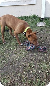 American Staffordshire Terrier Mix Dog for adoption in San Antonio, Texas - Lucy