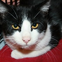 Domestic Shorthair Cat for adoption in Jenkintown, Pennsylvania - Keyes