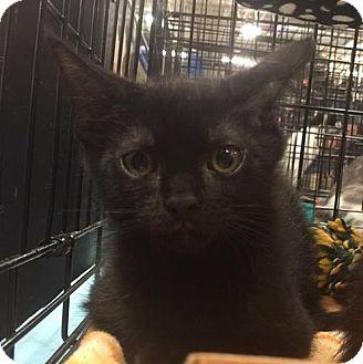 Domestic Shorthair Kitten for adoption in Gainesville, Florida - Binx