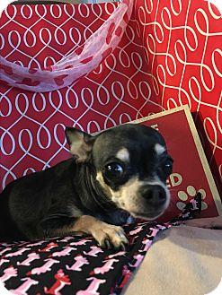 Chihuahua Dog for adoption in Lehigh, Florida - Bonita
