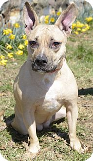 Fox Terrier (Smooth)/Fox Terrier (Wirehaired) Mix Dog for adoption in Glenolden, Pennsylvania - Brittany