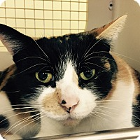 Calico Cat for adoption in Warren, Michigan - Pinto aka Mia
