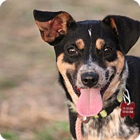 Beagle/Rat Terrier Mix Dog for adoption in Glastonbury, Connecticut - Ally-New Video