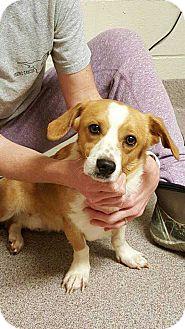 Corgi/Jack Russell Terrier Mix Dog for adoption in Washington, D.C. - Ben (Has Application)