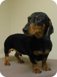 Dachshund Mix Dog for adoption in Gary, Indiana - Steve