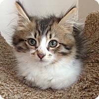 Adopt A Pet :: Summer - Reston, VA