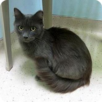 Domestic Mediumhair Cat for adoption in Janesville, Wisconsin - Dolce